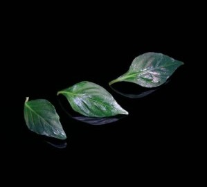 JamPet Leaves
